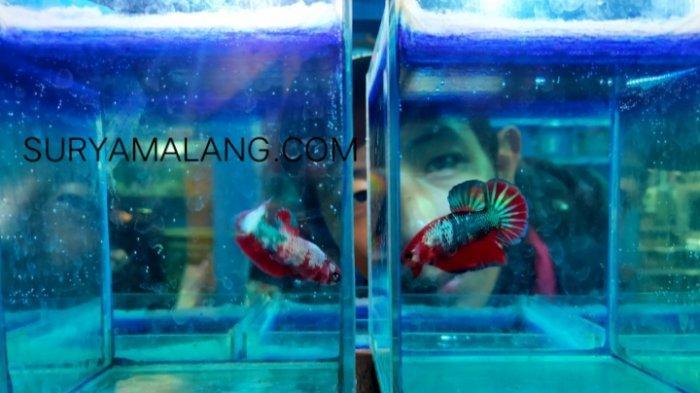 Saat Pandemi Penjualan Cupang Hias Di Kota Malang Melejit Surya Malang