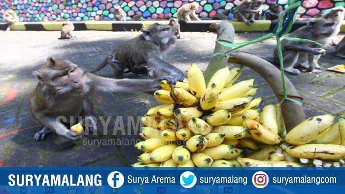 GALERI FOTO : Peduli Monyet Taman Wisata Wendit Malang Saat Pandemi Covid-19