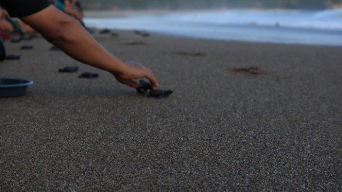 Pantai Bajulmati Kabupaten Malang Sebagai Ibu Kota Penyu