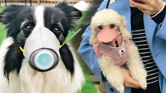 Penampakan Anjing Pakai Masker Buntut Isu Virus Corona Menyebar Lewat Hewan, Ini Fakta Sebenarnya