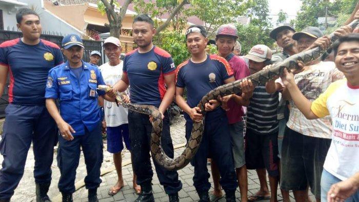Petugas Gunakan Daging Ayam untuk Tangkap Ular Piton Sepanjang 3,5 Meter di Kota Malang