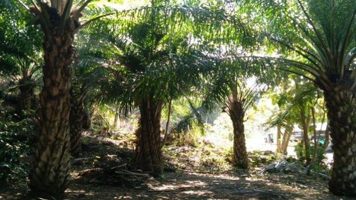 Kelapa Sawit Disebut Berdampak Buruk pada Lingkungan, Pakar dari UB Sebut Perlu Kajian Mendalam