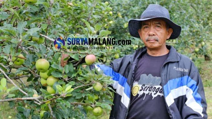 Petani Apel Batu yang Mulai Rasakan Dampak Positif Pakai Obat Mata Ayam Buatan Rudy Mariyanto
