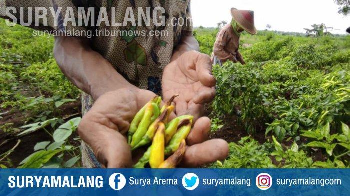 Petani di Mojokerto Terancam Merugi Akibat Tanaman Cabai Diserang Penyakit Antraknosa