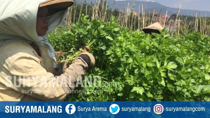 Petani seledri panen di Desa Sumberejo, Kota Batu, Minggu (27/8/2017).