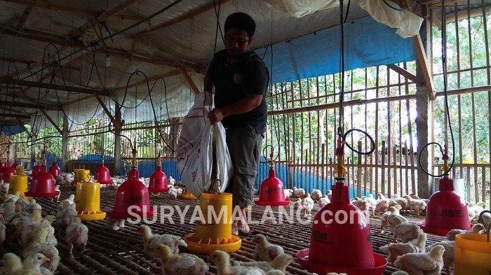 Harga Ayam Peternak Anjlok, Pemerintah Belum Temukan Solusi Untuk Mengatasinya