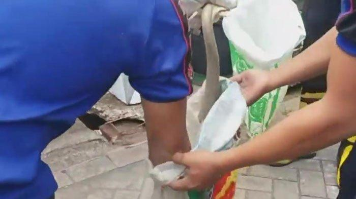 'Teror' Ular Kobra Bikin Resah Warga Perumahan Tegalbesar Permai 1 Jember