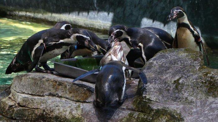 Sambut World Penguin Day, TSP Pasuruan Beri Tumpeng Ikan Seberat 1 Kilogram untuk Penguin
