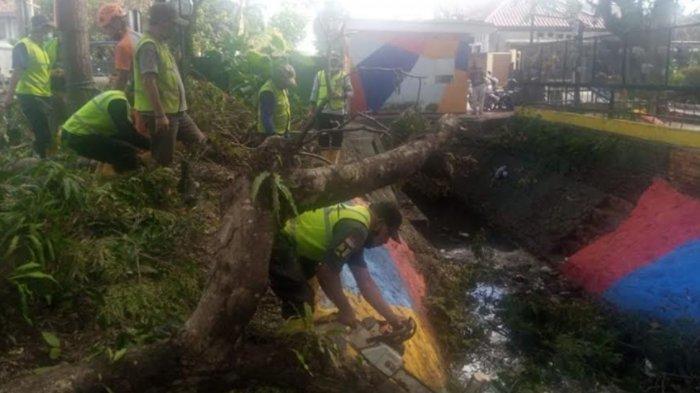 Waspada Anomali Cuaca, Pohon Sengon di Kelurahan Kasin Kota Malang Tumbang karena Angin Kencang