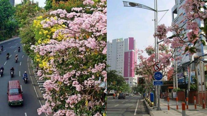 Fakta-fakta Bunga Tabebuya di Surabaya yang Sedang Viral di Sosial Media, Mirip Bunga Sakura