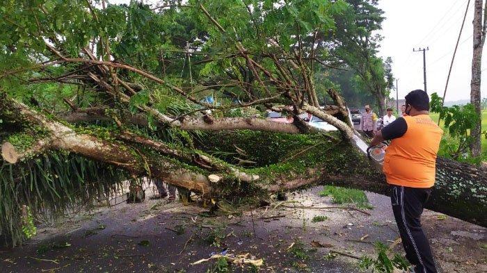 Pengendara Motor Tertimpa Pohon Tumbang di Jalan Raya Bendorejo, Trenggalek