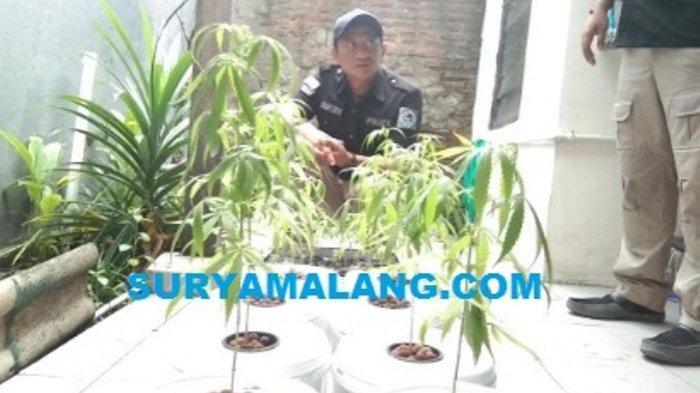 BREAKING NEWS - Polda Jatim Gerebek Ladang Ganja di Lakarsantri Surabaya