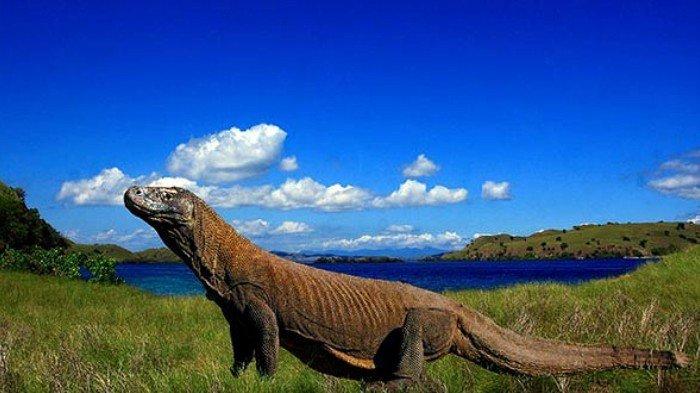 Heboh Proyek Jurassic Park, Inilah Sejarah Komodo yang Mendunia Hingga Masuk dalam 7 Keajaiban Alam