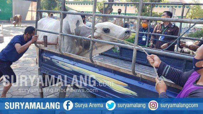 Akan Dikirim ke Masjid di Kenjeran, Sapi Ini Lepas dan Mengamuk di Masjid Al Akbar Surabaya