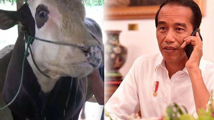 Penampakan Mike Tyson, Sapi Kurban Presiden Jokowi yang Dimandikan 2 Kali Sehari