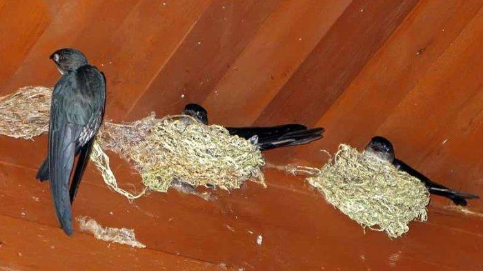 Bapenda Kabupaten Malang Bakal Gratiskan Pajak Sarang Burung Walet Begini Alasanya Surya Malang
