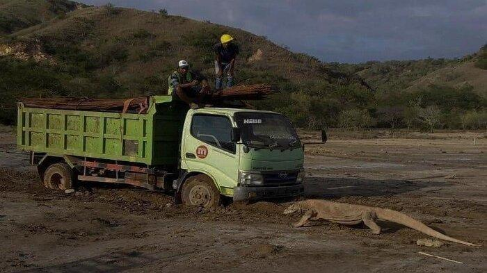 Seekor komodo menghadang truk di Pulau Rinca
