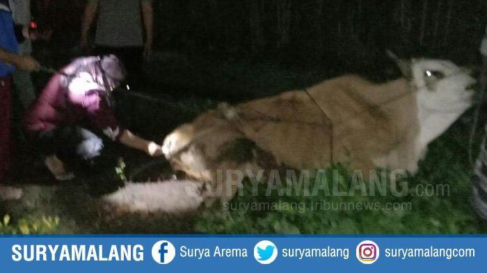 Sapi-sapi di Situbondo Mati Mendadak Secara Misterius, Dinas Peternakan Jatim Lakukan Investigasi
