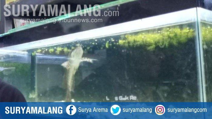 Tips Merawat Snakehead Fish Alias Ikan Gabus Hias