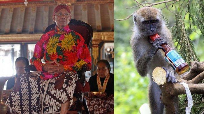 'Kesaktian' Badui Taklukan Ratusan Monyet, Pantes Sultan Hamengku Buwono X Heran, Lihat Faktanya