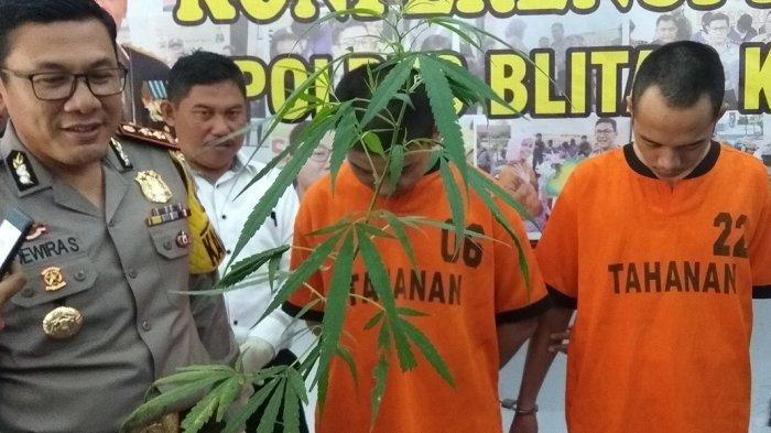 Iseng Tanam Pohon Ganja Di Rumah, Oknum Mahasiswa Di Kota Blitar Dibekuk Polisi