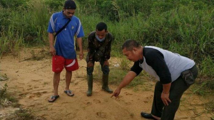 Belum Punah, Jejak Harimau Sumatera Ditemukan di Dekat Permukiman Warga di Riau