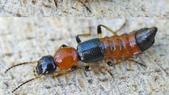 Heboh dan Viral di Medsos Tentang Kemunculan Semut Charlie Mengancam Manusia, Ini Fakta Sebenarnya!