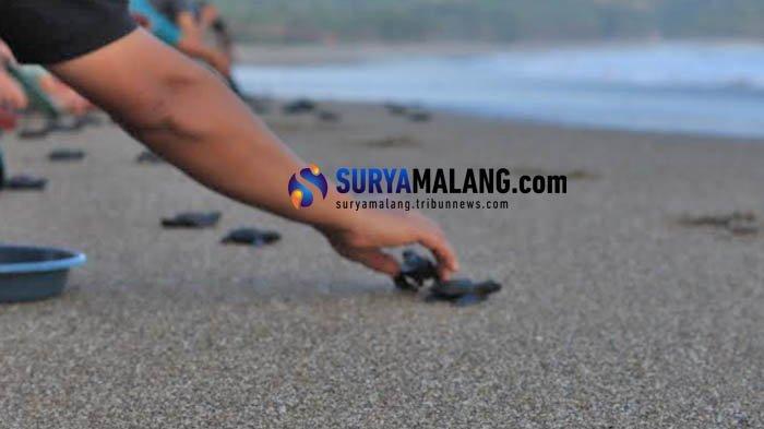 Tantangan Pelestarian Penyu di Pantai Bajulmati Kabupaten Malang