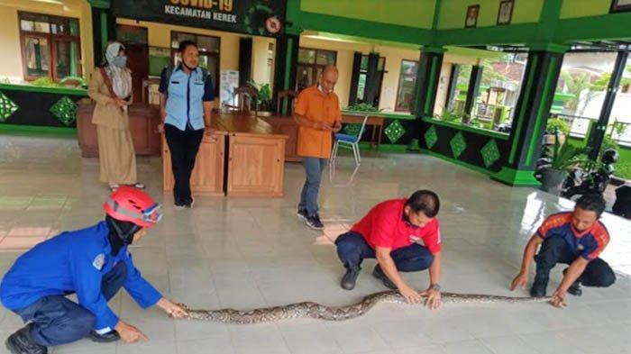 Ular Piton 3 Meter Bikin Geger Pegawai Kantor Kecamatan Kerek Tuban