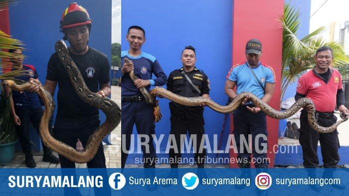 Ular Piton Sepanjang 4 Meter Bikin Geger Warga Simokerto, Surabaya
