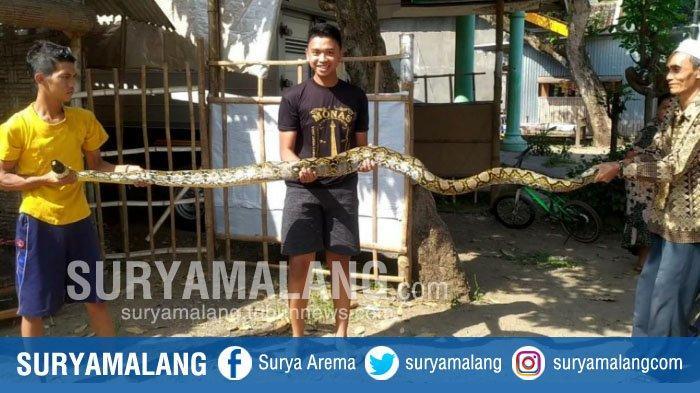 Proses Penangkapan Ular Piton di Mojokerto, Warga Bawa Tombak dan Senapan Angin