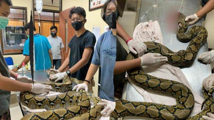 Viral, Seekor Ular Piton di Tarekot Malang Dalam Keadaan Sakit dengan Mulut Penuh Luka