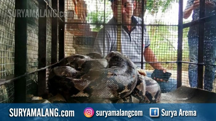 Bikin Merinding, Ada Goa Sarang Ular Sanca Kembang, Warga Tangkap 8 Ekor