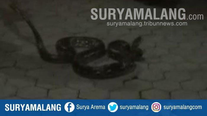 Kronologi Penemuan Ular Sepanjang 4 Meter di Kebun Tebu Desa Cabean, Kabupaten Madiun