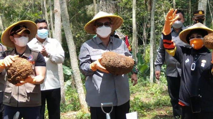 Ikut Panen Porang di Trenggalek, Wamen Pertanian Harvick Hasnul Qolbi: Hilirisasi Harus Ditingkatkan