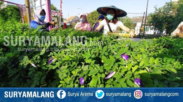 Aneka Kreasi Makanan dan Minuman dari Bunga Telang Karya Warga Penjaringan Sari, Surabaya