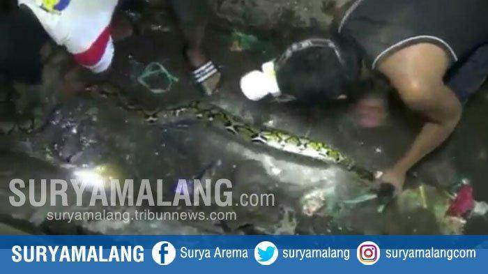Heboh Penangkapan Ular Sepanjang 3,5 Meter di Situbondo