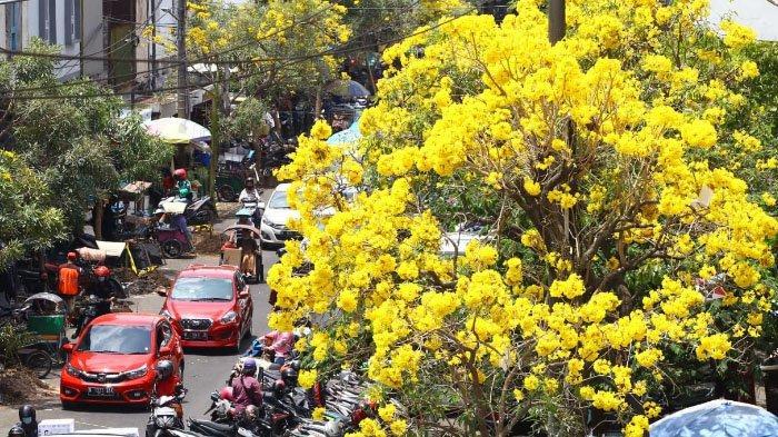 Bunga Tebebuya Mulai Bermekaran di Kota Malang