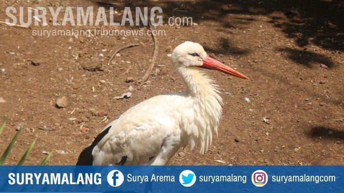 Bayi White Stork Kebanggaan Warga Polandia Lahir di Eco Green Park Kota Batu