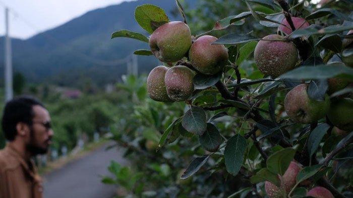 Harga Apel Membaik, Petani Kota Batu Optimis Sambut Kemarau