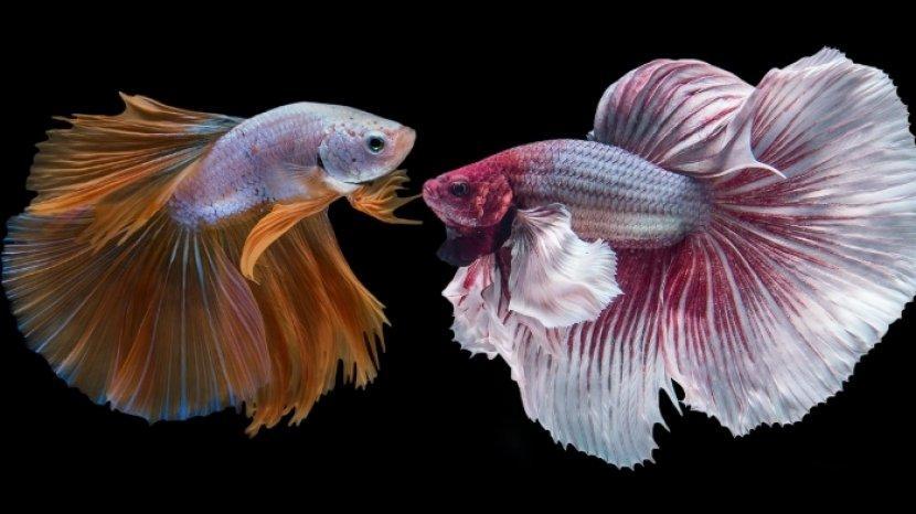 ilustrasi-ikan-cupang-halfmoon-tips-cara-merawat-ikan-cupang-halfmoon-agar-panjang-umur.jpg