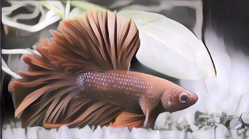 tanda-tanda-ikan-cupang-sebelum-mati-bisa-dilihat-dari-nafsu-makan-hingga-perubahan-warna-ikan.jpg