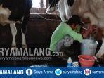 aktivitas-peternak-sapi-di-desa-bumiaji-kota-batu.jpg