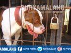 anjing-ras-pitbully-classic-jantan-kota-malang_20170807_135647.jpg