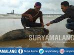 bangkai-ikan-lumba-lumba-ditemukan-di-pesisir-perairan-laut-tuban_20180205_165143.jpg