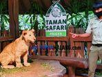 bayi-singa-baru-taman-safari-prigen-tsp-pasuruan.jpg