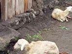 beredar-video-viral-yang-menampilkan-tiga-kambing-terluka-di-kakinya.jpg
