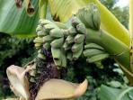 berita-buah-pisang-bikin-heboh-warga-inggris_20160718_145833.jpg