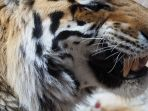 berita-harimau-terkam-manusia-3_20170316_133302.jpg