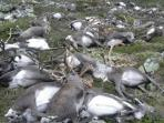 berita-malang-ratusan-rusa-meninggal_20160830_103951.jpg